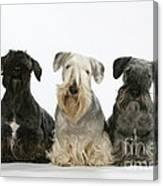 Cesky Terrier Dogs Canvas Print
