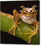Chachi Tree Frog Ecuador Canvas Print