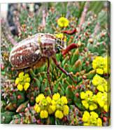 Chafer Beetle On Medusa Succulent Canvas Print