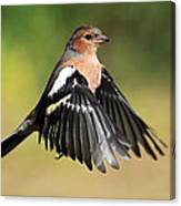Chaffinch In Flight Canvas Print
