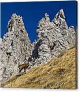 chamois in Alps Canvas Print