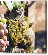 Champagne Grapes Closeup Canvas Print