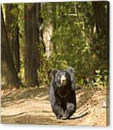 Chance Encounter With The Hairy One Canvas Print