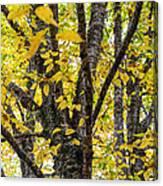 Changing Birch Canvas Print