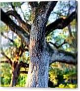 Charleston Grand Oak At Sunset Canvas Print