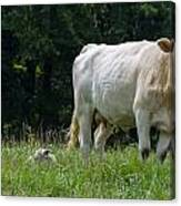 Charolais Cow And Calf In Field Canvas Print