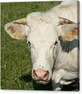 Charolais Cow Canvas Print