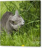 Chartreux Cat And Grass Canvas Print
