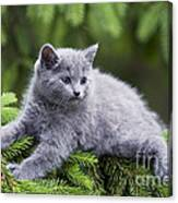 Chartreux Kitten Canvas Print