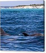 Chasing Dolphins  Canvas Print