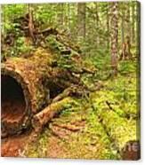 Cheakamus Old Growth Cedar Stumps Canvas Print