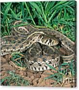 Checkered Garter Snake Canvas Print
