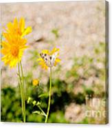 Checkered White Butterfly  Canvas Print