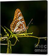 Checkerspot Butterfly Canvas Print