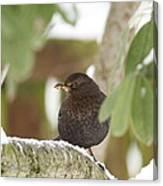 Cheeky Blackbird Canvas Print