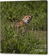 Cheetah   #0095 Canvas Print