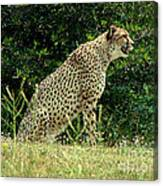 Cheetah-79 Canvas Print