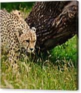 Cheetah Acinonyx Jubatus Big Cat  Canvas Print
