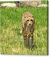 Cheetah Approaching Canvas Print