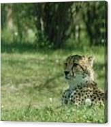 Cheetah At Attention Canvas Print
