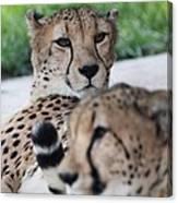 Cheetah Awakening Canvas Print