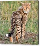 Cheetah Cub Looking Your Way Canvas Print