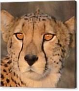 Cheetah Gaze At Sunset Canvas Print