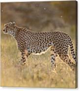 Cheetah In Grassland Kenya Canvas Print