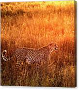 Cheetah In The Grass At Sunrise Canvas Print