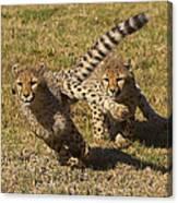 Cheetah Juveniles Playing Canvas Print