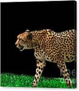 Cheetah On The Prowl Canvas Print
