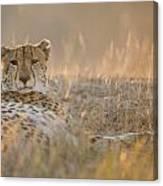Cheetah Prepares To Sleep Canvas Print