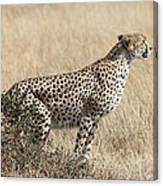 Cheetah Ready For The Off Canvas Print