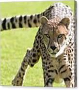 cheetah Running Portrait Canvas Print