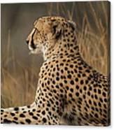 Cheetah South Africa Canvas Print