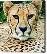 Cheetah Stare L Canvas Print