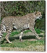 Cheetah Strolling Canvas Print