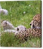 Cheetah With Cubs Canvas Print