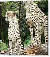 Cheetah's 02 Canvas Print