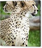 Cheetah's 04 Canvas Print