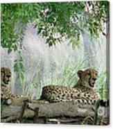 Cheetahs-120 Canvas Print