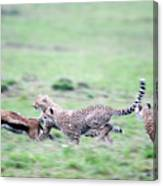 Cheetahs Acinonyx Jubatus Chasing Canvas Print