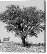 Cheetahs And A Tree Canvas Print