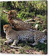 Cheetahs Of The Masai Mara Canvas Print