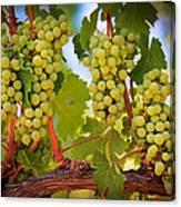 Chelan Grapevines Canvas Print