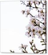 Cherries Blooming In The Spring. Canvas Print