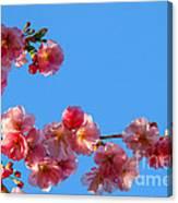 Cherry Blossom Against Blue Sky Canvas Print