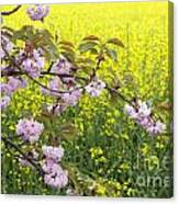 Cherry Blossom And Rapeseed Canvas Print