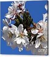 Cherry Blossom Blue Sky - 1 Canvas Print