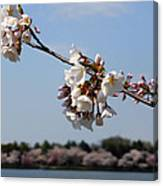 Cherry Blossom Dc Canvas Print